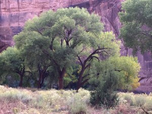 round tree inthe canyon